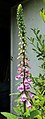 Digitalis Purpurea R01.jpg
