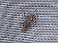 Diptera sp. (28979868848).jpg