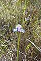 Disa graminifolia - Flickr 003.jpg