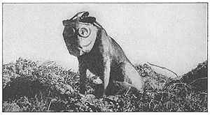 Military animal - A dog employed by the Sanitary Corps during World War I to locate wounded soldiers. It is fitted with a gas mask.
