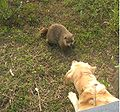 Doggroundhog.jpg