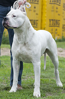 profile of a muscular all white male dog standing on grass in front of trees. Very short coat. Reminiscent of a Bulldog.
