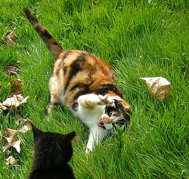 Bengal Cats Fighting Dogs
