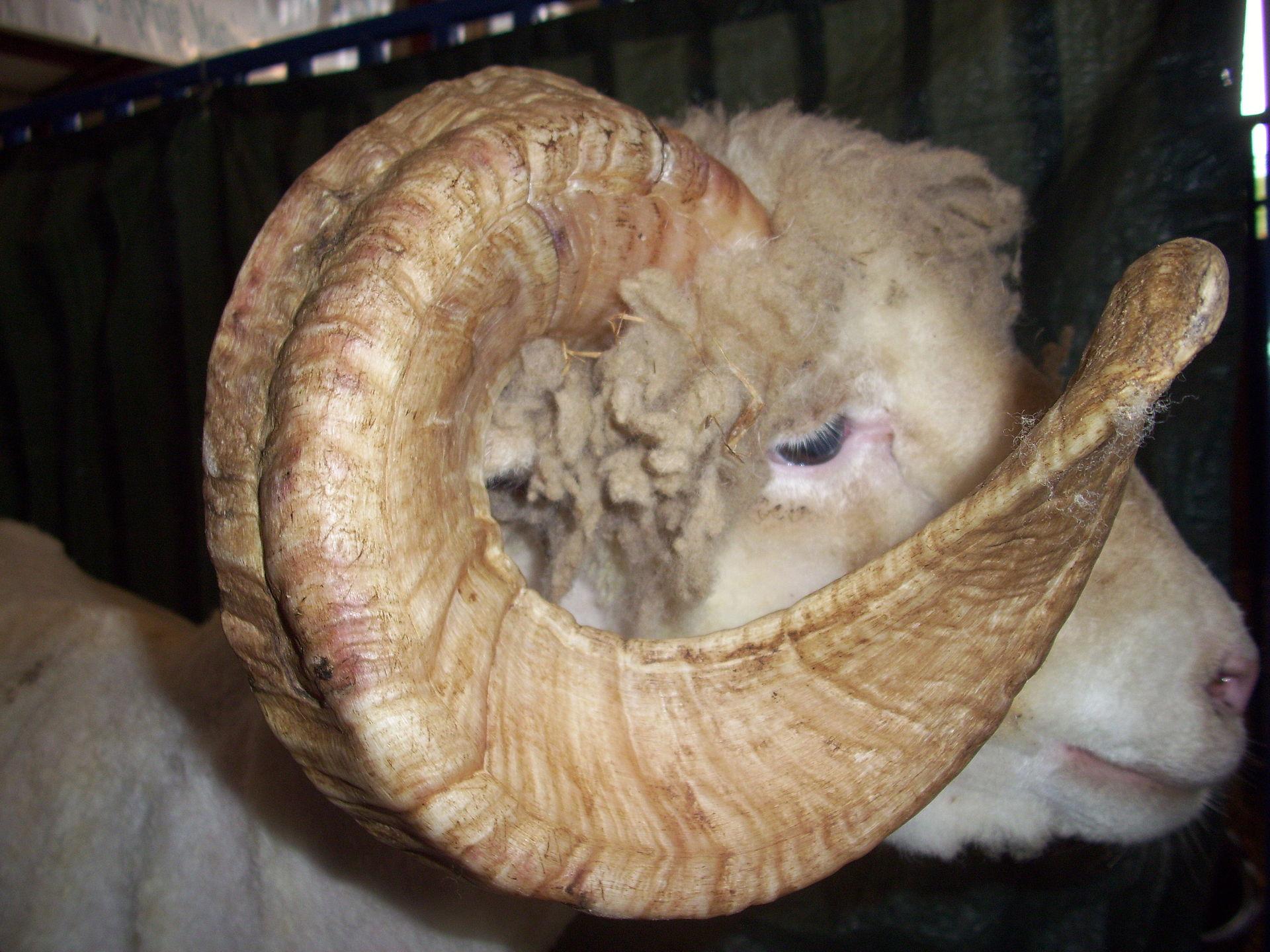 Dorset Horn Wikipedia