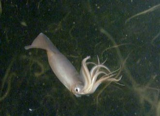 Humboldt squid - A Humboldt squid swarms around ROV Tiburon, possibly attracted to its lights