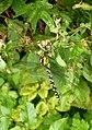 Dragonfly in Oare Gunpowder Works Country Park - geograph.org.uk - 1415111.jpg