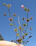 Drosera peltata plant5 (15406296162).jpg