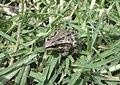 Dryophytes eximius (or Hyla eximia) of the family Hylidae - also known as mountain tree frog.jpg