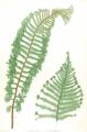 Dryopteris filix-mas Moore16.png