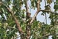 Duabanga sonneratioides syn Duabanga grandiflora middle story at Jayanti, Duars, West Bengal W Picture 221.jpg