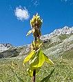 Ducantal - flower.jpg