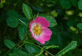 Duinroos (Rosa pimpinellifolia). Locatie, De Kruidhof Kruidentuin in Friesland.jpg
