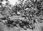 ETH-BIB-Baum mit Zitrusfrüchten (Orangen)-Kilimanjaroflug 1929-30-LBS MH02-07-0152.tif
