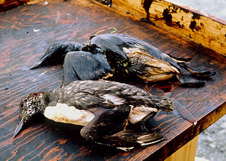 Exxon Valdez oil spill - Wildlife was severely affected by the oil spill.