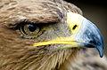 Eagle Closeup face.jpg
