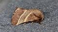 Eastern Tent Caterpillar Moth (Malacosoma americana) - Guelph, Ontario 2016-06-27 (01).jpg
