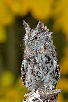 Eastern screech owl - Wikipedia