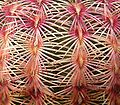 Echinocereus rigidissimus rubispinus 02 ies.jpg