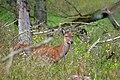 Edelhert in de nieuwe wildernis (15018063312).jpg