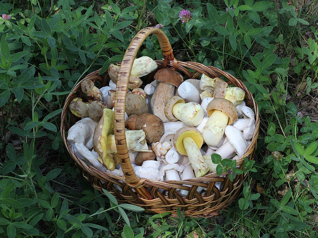 грибы лисички от гельминтов
