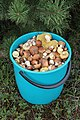 Edible fungi in bucket 2013 G1.jpg