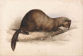 Edward Lear - A Weasel - Google Art Project.jpg