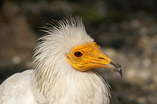 Egyptian Vulture.JPG