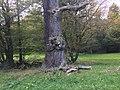 Einäugiger Löwe am Baum.jpg