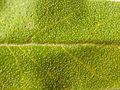 Elaeagnus angustifolia (4970179245).jpg