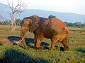 Elefante nella savana.JPG