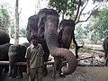Elephant from Bannerghatta National Park 8670.JPG