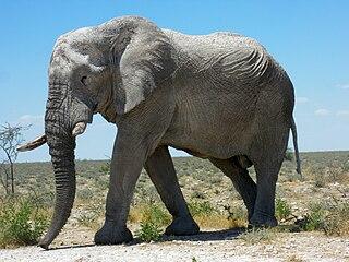 Eléphant 10 dans ELEPHANT