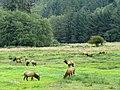 Elk Herd in Oregon in The Pacific Northwest 1.jpg