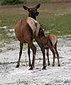 Elks Mother with the young in Yellowstone NP.jpg