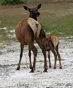 Elks Mother with the young in Yellowstone NP