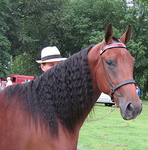 Tennessee Walking Horse - Exhibiting the typical long neck, sloping shoulder, and correct head