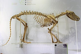 Skeleton in Cambridge University Museum of Zoology, England Em - Thylacinus cynocephalus - 4.jpg