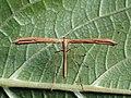 Emmelina monodactyla - T-moth - Пальцекрылка однопалая (44144154444).jpg