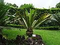 Encephalartos lebomboensis furnas 2015.jpg