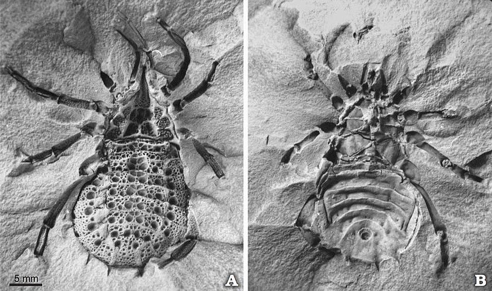 Eophrynus prestvicii BU669