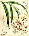 Epidendrum cnemidophorum - Curtis' 93 (Ser. 3 no. 23) pl. 5656 (1867).jpg