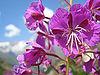 Epilobum augustifolium Aug2003.jpg