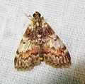 Epipaschiinae? (7221113106).jpg