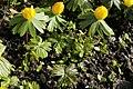 Eranthis hyemalis-IMG 0545 (cropped).JPG