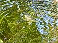 Erdkröte (Bufo bufo) im Haardsee 1.jpg