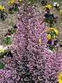 Erica canaliculata1.jpg