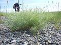 Ericameria nauseosa or Chrysothamnus nauseosus (5143690089).jpg