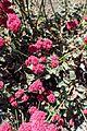 Eriogonum grande var rubescens kz1.jpg