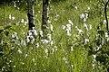 Eriophorum.angustifolium.jpg