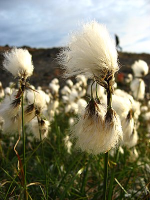 Eriophorum angustifolium - Image: Eriophorum angustifolium upernavik 2007 08 01 1